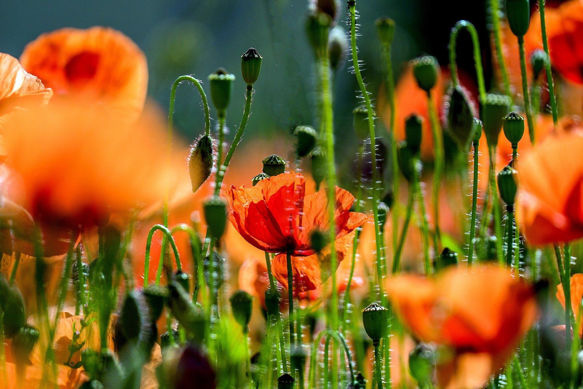 poppy 3416055 1920